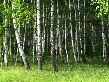birch trees in a summer forest                                photo