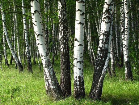 birch trees: birch trees