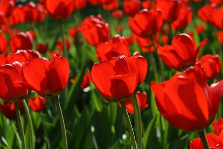Beautiful red tulips Stock Photo - 5837579