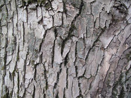 cranny: Bark of old tree Stock Photo