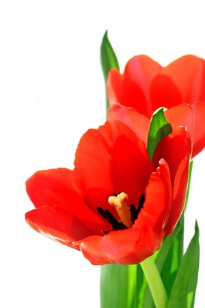 red tulip Stock Photo - 6823610