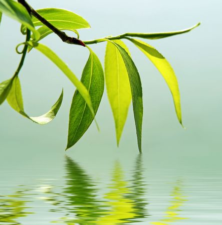 green branch of a willow reflected in water photo