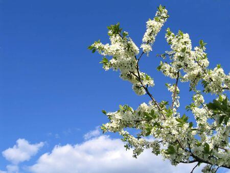 blossoming tree on blue sky background photo