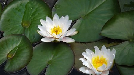 blooming water lilies (lotus) Stock Photo - 7576364