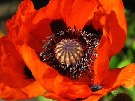 beautiful blooming red poppy flower photo