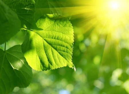 fresh green leaf of linden tree and sun beams photo