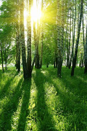 shadows: abedules con largas sombras en el bosque de verano