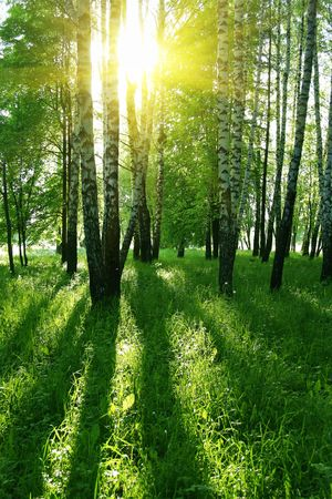 birch trees with long shadows in summer forest