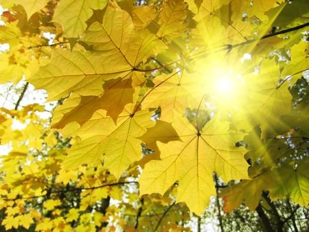 beautiful autumn leaves of maple tree glowing in sunlight photo