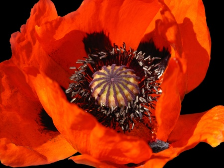 beautiful blooming red poppy flower on black photo
