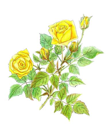 drawing of yellow roses on white background photo