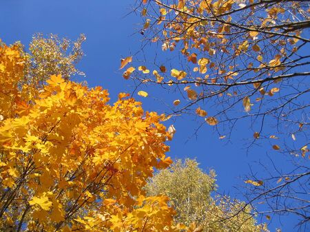 beautiful yellow autumn trees