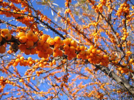 bush to grow up: branch of sea buckthorn berries Stock Photo