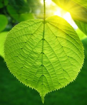 limetree: green leaf of linden tree glowing in sunlight                                Stock Photo