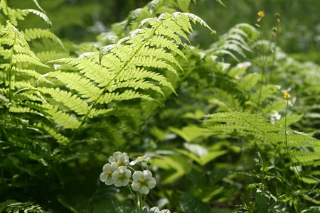 fern leaves and flowers of wild strawberry - nature background photo