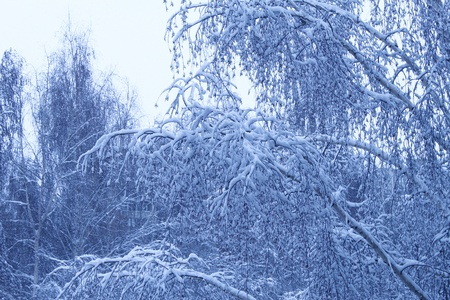 rising temperature: winter trees background Stock Photo