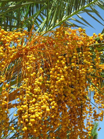 dactylifera: close up of palm tree with fruits
