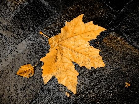 sicomoro: Ca�da de la hoja brillante en h�medo de sicomoro Foto de archivo