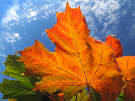 bright foliage of autumn maple tree on blue sky background                 photo
