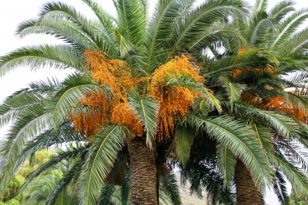 date tree: palm tree with seeds Stock Photo