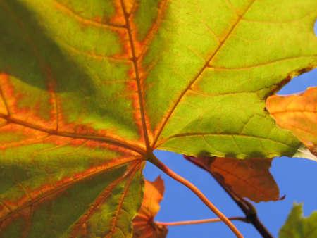 autumn leaf of maple tree on blue sky background close up                            photo