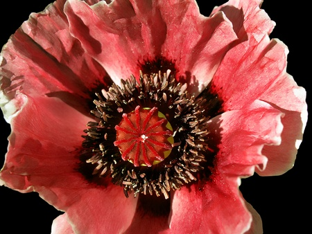 beautiful big blooming poppy flower on black photo