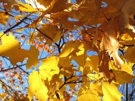 Autumn leaves of maple photo