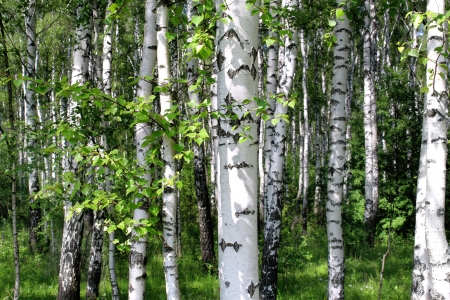 birch bark: Beautiful birch trees in a summer forest