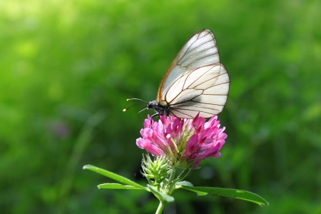 Beautiful butterfly on a pink clover photo