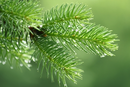 coniferous tree: Branch of a coniferous tree with raindrops