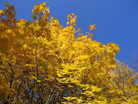 Autumn foliage of maple tree on blue sky background photo
