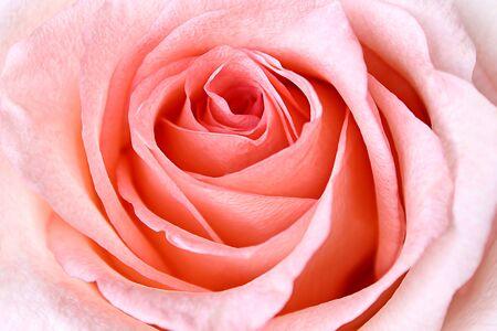 rosas rosadas: Hermosa Rosa Rosa de fondo