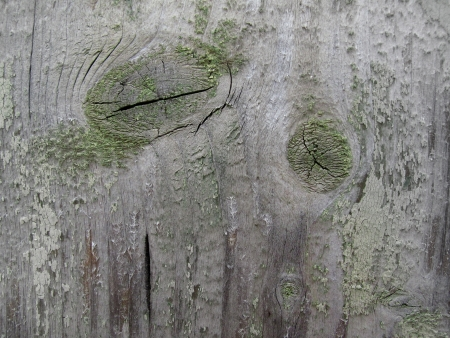 Texture of very old weathered wood                                photo