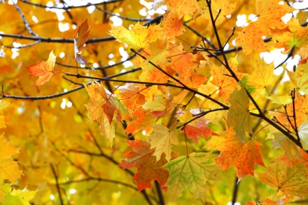 Beautiful yellow autumn leaves of maple tree photo