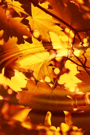 Branch of bright autumn maple foliage reflection in the water with ripples photo