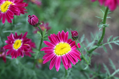 Beautiful bright pyrethrum flowers photo