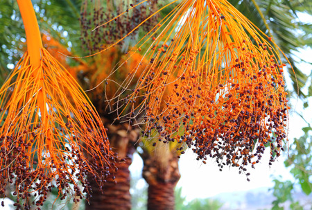 dactylifera: Closeup of palm branches with bright fruits
