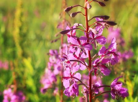 officinal: Willowherb - Epilobium Angustifolium  blooming sally  Epilobium angustifolium   Purple Alpine Fireweed  epilobium flower  Stock Photo