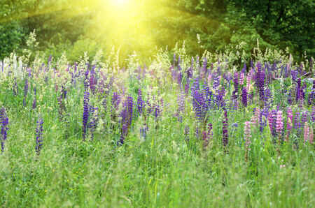 lupines: Wild lupines growing in green grass and bright sunlight Stock Photo