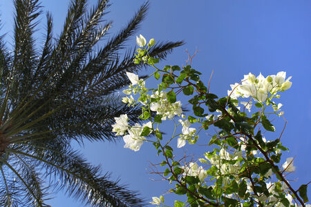 Branches of beautiful white bougainvillea and palm tree in blue sky photo