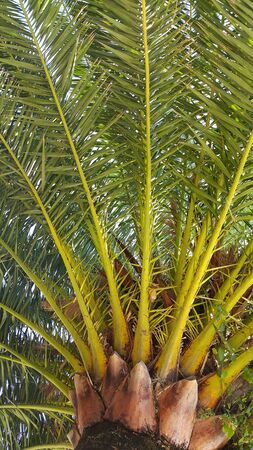 Branches of big tropical palm tree photo