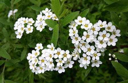 Spring flowering shrub with white flowers stock photo picture and spring flowering shrub with white flowers stock photo 42081752 mightylinksfo
