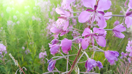 angustifolium: Pink flowers of fireweed (Epilobium or Chamerion angustifolium) in bloom