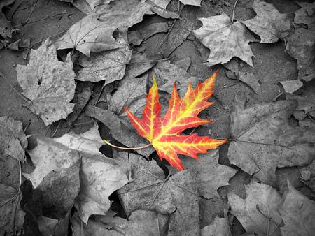 blackwhite: Bright autumn leaf on black-white background Stock Photo