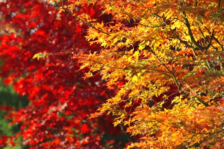 seasons changing: Japanese acer leaves revealing the beautiful autumnal colours of the changing seasons