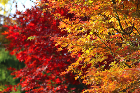changing seasons: Japanese acer leaves revealing the beautiful autumnal colours of the changing seasons