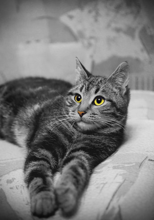 blackwhite: Black-white portrait of young lying cat with colored eyes and nose