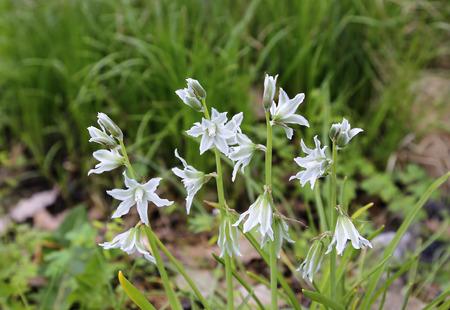 ornithogalum: Beautiful spring flowers of Ornithogalum Nutans Stock Photo