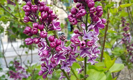 blossoming: Branche of beautiful blossoming lilac Stock Photo