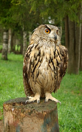 Owl with large orange eyes sitting on a tree stump